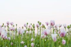 Muchas flores rosadas de la amapola Fotos de archivo libres de regalías
