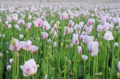 Muchas flores rosadas de la amapola Foto de archivo