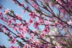 Muchas flores rosadas del melocotón Imagen de archivo