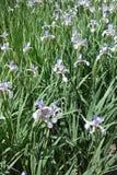 Muchas flores violadas claras del iris de la mariposa Foto de archivo