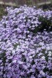 Muchas flores violetas y púrpuras Fotografía de archivo libre de regalías
