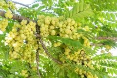 Muchas frutas de la grosella espinosa están en la rama Foto de archivo libre de regalías