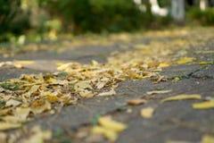Muchas hojas con diverso color de tono amarillo han caído abajo encendido al camino en otoño Imagen de archivo