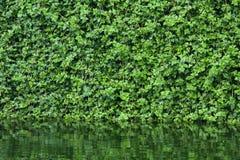 Muchas hojas de la hiedra cubren una pared Fotografía de archivo