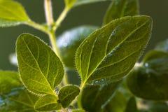 Muchas hojas del orégano - tiro macro Imagenes de archivo