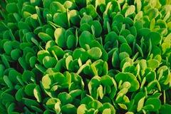 Muchas hojas frescas verdes, vida orgánica de la naturaleza, vegetariano, textura Fotos de archivo