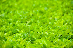 Muchas hojas verdes, dof bajo Imagen de archivo