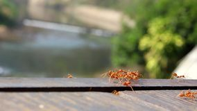 Muchas hormigas que funcionan con el animal del primer