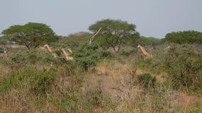 Muchas jirafas africanas salvajes que caminan en la sabana entre los arbustos y los acacias almacen de metraje de vídeo