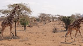 Muchas jirafas en la reserva de Samburu en la estación seca cerca de árboles y de arbustos almacen de video