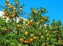 Muchas mandarinas maduras en árbol Foto de archivo