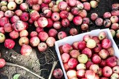 Muchas manzanas caidas en la tierra Imagen de archivo