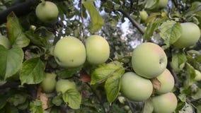 Muchas manzanas en árbol metrajes
