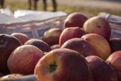 Muchas manzanas rojas Fotografía de archivo libre de regalías