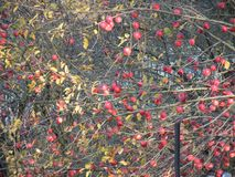 Muchas manzanas rojas, pocas hojas en el árbol fotografía de archivo