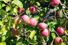 Muchas manzanas rojas que cuelgan en el árbol Imagen de archivo libre de regalías