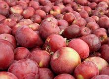 Muchas manzanas rojas recientemente escogidas Imagen de archivo
