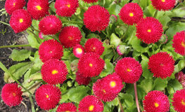 Muchas margaritas de las flores en un fondo del follaje verde Foto de archivo libre de regalías