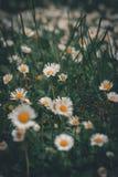 Muchas margaritas en la hierba imagen de archivo