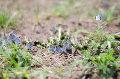 Muchas mariposas azules que se sientan en la tierra Foto de archivo libre de regalías