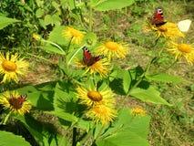 Muchas mariposas de pavo real encendido caballo-curan Imagen de archivo libre de regalías