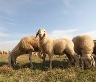 Muchas ovejas de una multitud que pasta Fotografía de archivo
