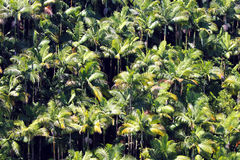 Muchas palmeras Hawaii Imagenes de archivo