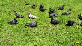 Muchas palomas caminan en la hierba verde almacen de metraje de vídeo