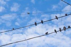 Muchas palomas en alambres eléctricos Imagen de archivo