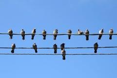 Muchas palomas en alambres eléctricos Foto de archivo libre de regalías