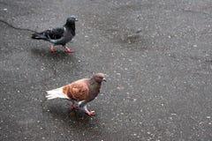 Muchas palomas en el parque, entre pájaros blancos azulados Foto de archivo