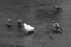 Muchas palomas en el parque, entre pájaros blancos azulados Imagenes de archivo