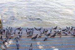 Muchas palomas en el piso del río Fotografía de archivo