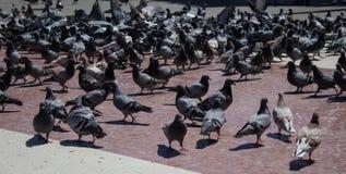 Muchas palomas en la plaza Catalunya foto de archivo