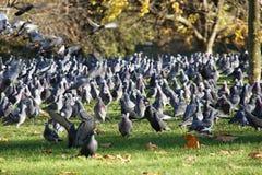 Muchas palomas en parque del St. Jame´s Imagen de archivo libre de regalías
