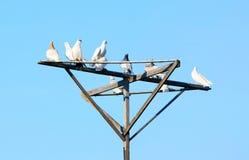 Muchas palomas en un polo de madera contra el cielo azul Imágenes de archivo libres de regalías