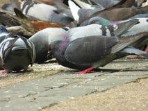 Muchas palomas que comen en la calle imagenes de archivo