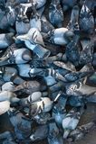 Muchas palomas que comen una corteza del pan Imagen de archivo
