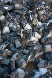 Muchas palomas que comen una corteza del pan fotografía de archivo libre de regalías