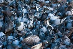Muchas palomas que comen una corteza del pan Fotos de archivo libres de regalías