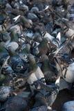 Muchas palomas que comen una corteza del pan Imágenes de archivo libres de regalías