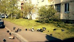 Muchas palomas que están en una ciudad metrajes