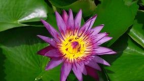 Muchas pequeñas abejas chupan de loto púrpura almacen de video