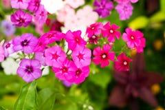 Muchas pequeñas flores con los pétalos coloreados multi brillantes Macro Fotos de archivo libres de regalías