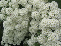 Muchas pequeñas flores con sabor a fruta Fotografía de archivo