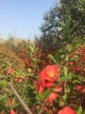 Muchas pequeñas flores rojas hermosas en la primavera temprana foto de archivo libre de regalías