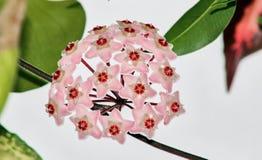 Muchas pequeñas flores rosadas Foto de archivo libre de regalías