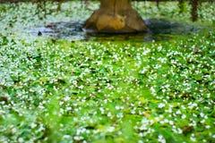 Muchas pequeñas hojas de los lirios de agua en la fuente imagenes de archivo