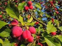 Muchas pequeñas manzanas rojas en un manzano fotografía de archivo