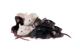 Muchas pequeñas ratas infantiles Fotos de archivo libres de regalías